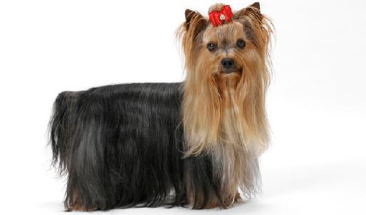 How To Potty Train Yorkshire Terrier Puppies - How To Train Yorkie