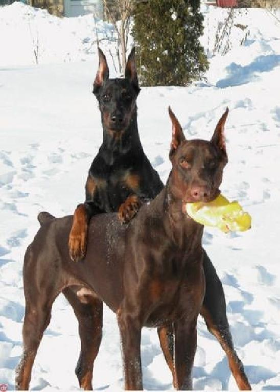 Training Doberman Puppies Not To Bite - Training Doberman